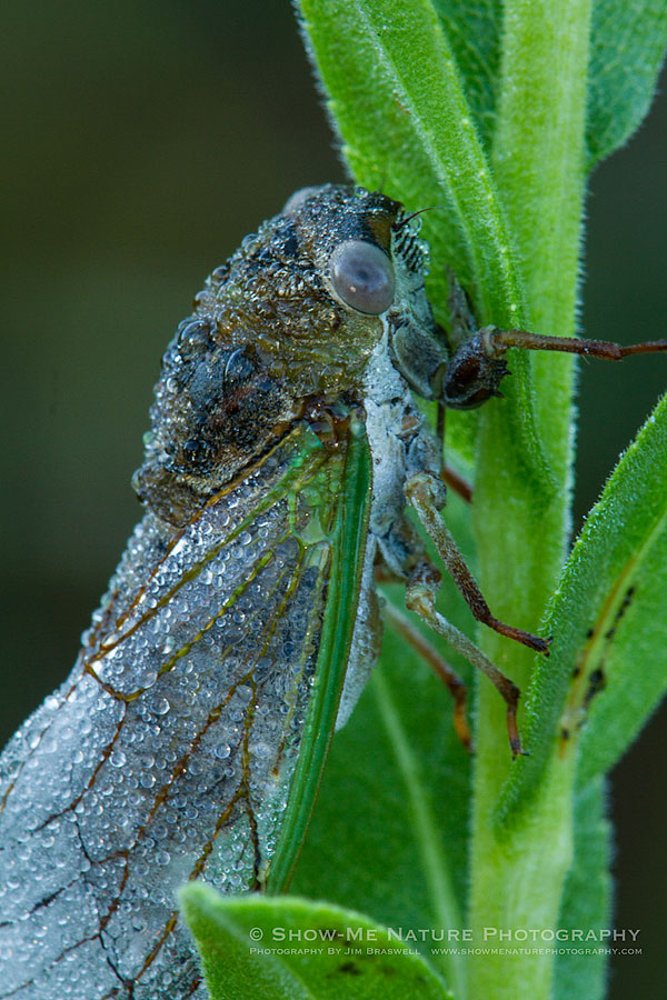 Dew-covered Cicada