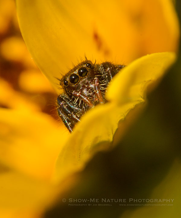 White-spotted Jumping Spider on a wildflower bloom