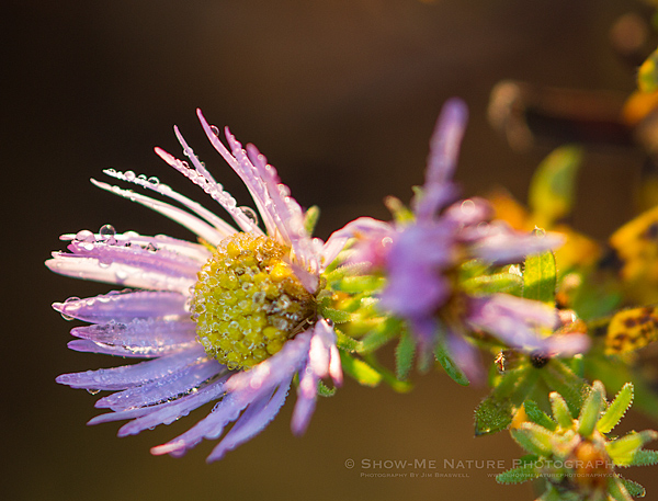 Aster thawing from the frost
