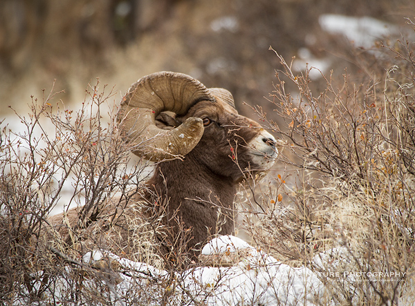 Bighorn Sheep Ram lying in the snow