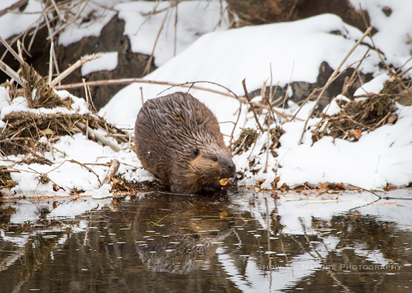 American Beaver with a fresh-cut willow sapling
