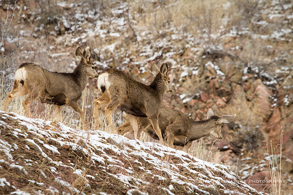Mule Deer doe with young