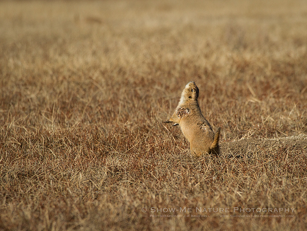 Black-tailed Prairie Dog sounding alarm