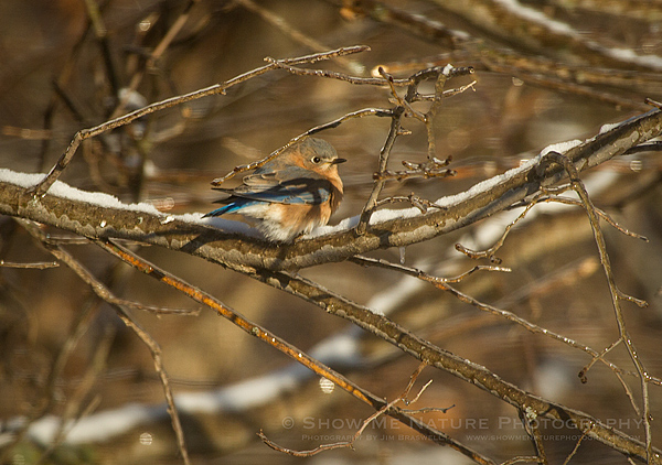 Eastern Bluebird on a snow and ice covered branch
