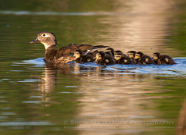 Wood Duck hen with ducklings