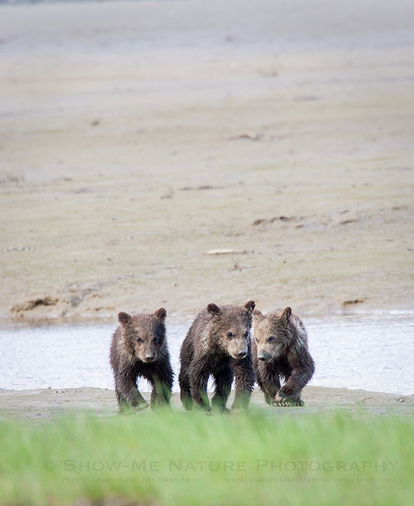 Triplet spring Brown Bear cubs