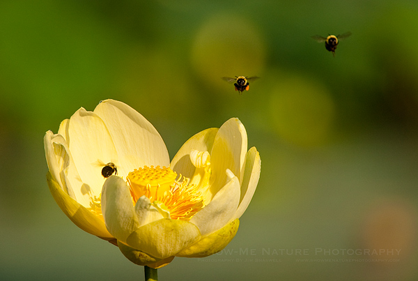 Bumble Bees and an American Lotus flower