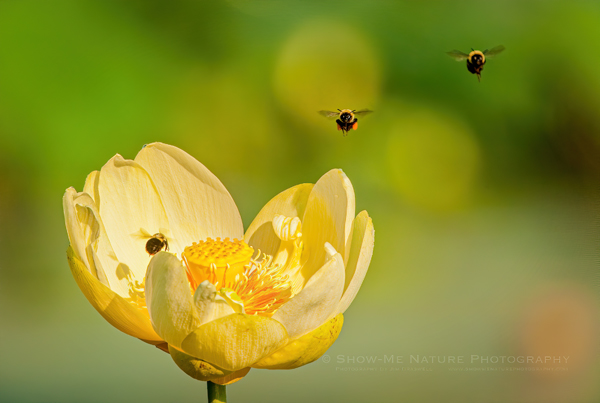 Honey Bees approaching an American Lotus Lily