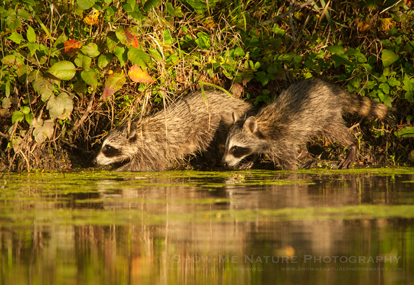 Juvenile Raccoons foraging for food