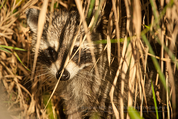 Juvenile Raccoon hiding in grasses