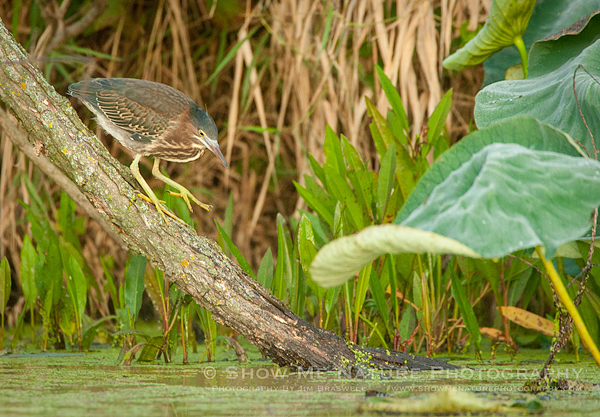 Green Heron stalking fish