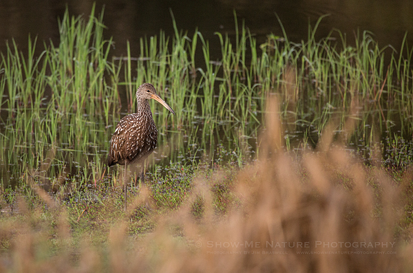 Limpkin foraging along the edge of the river