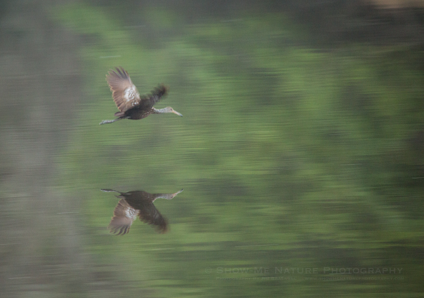 Limpkin flying across the Myakka River before sunrise