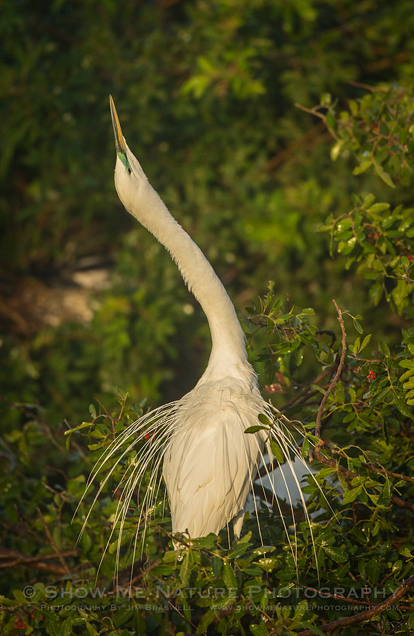 "Great Egret ""sky pointing"""