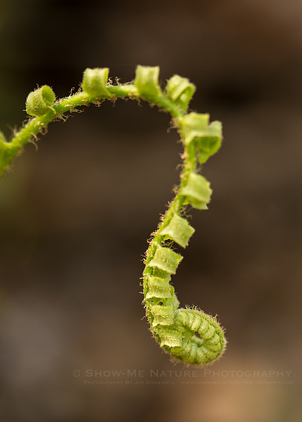 Woodland Fern unfurling