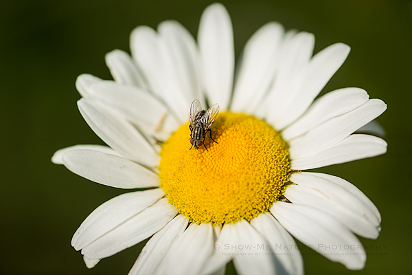 Fly on Ox-eye Daisy wildflower