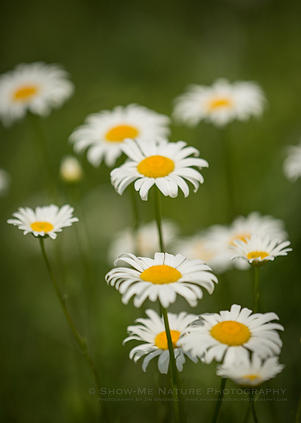 Ox-Eye Daisy wildflowers