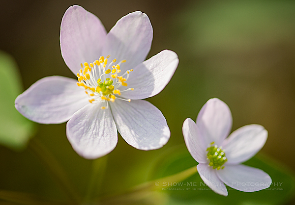 Rue Anemone wildflower