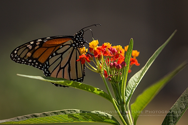 Monarch butterfly on a Tropical Milkweed