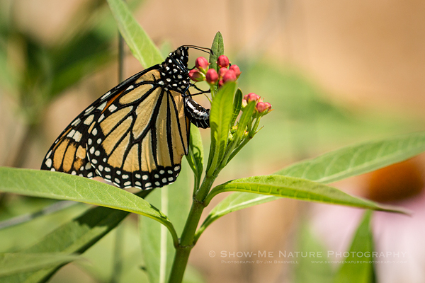 Monarch butterfly laying an egg