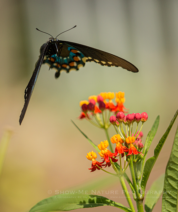 Swallowtail butterfly and Tropical Milkweed