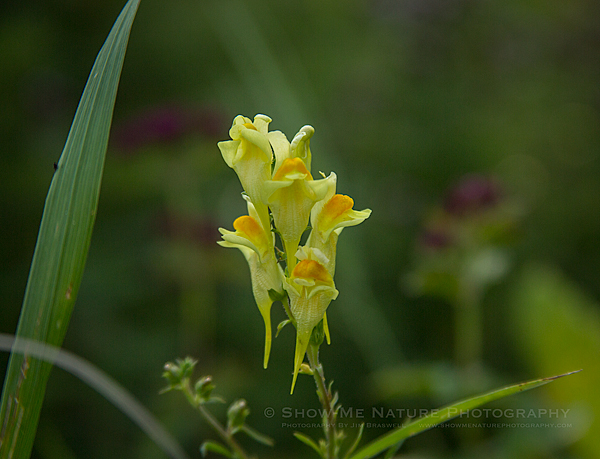 Common Toadflax wildflower