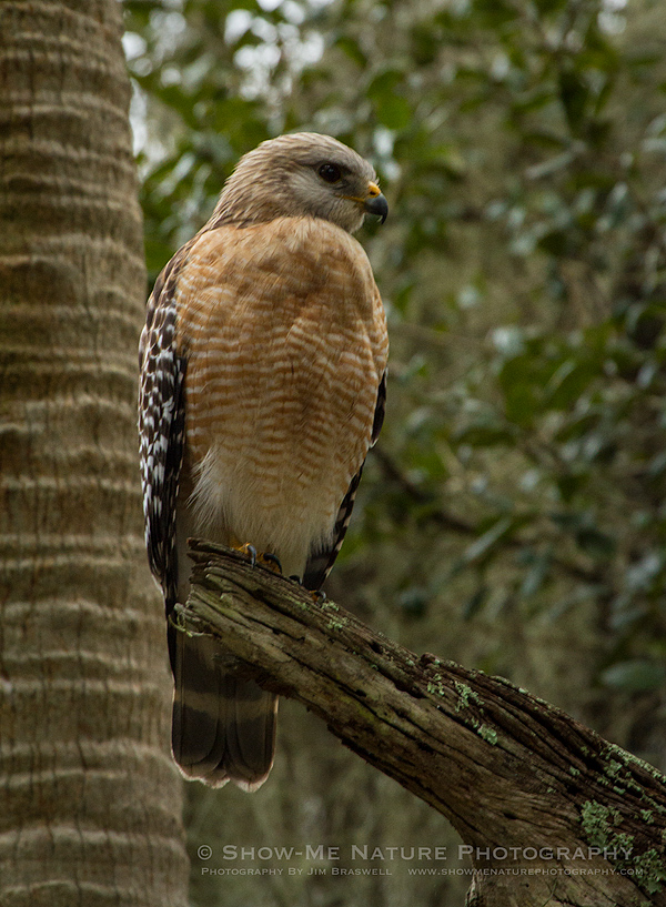 Red-shouldered Hawk in tree