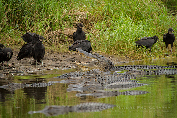 Large congretation of Alligators and Black Vultures at a water pool
