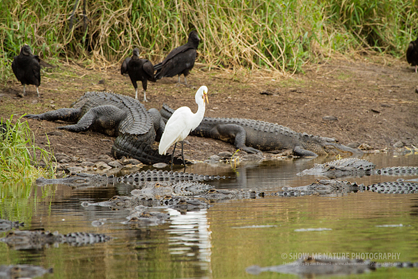 Great Egret surrounded by American Alligators