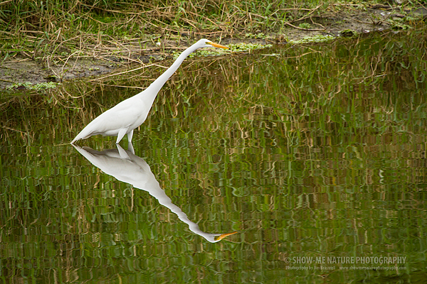 Great Egret and reflection in the Myakka River