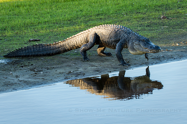 American Alligator walking back into the Myakka River