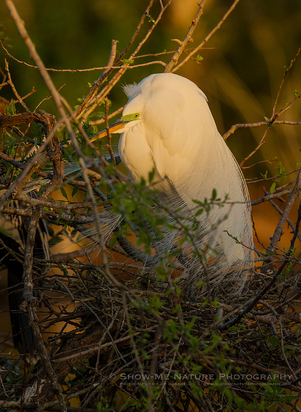 Great Egret in breeding plumage