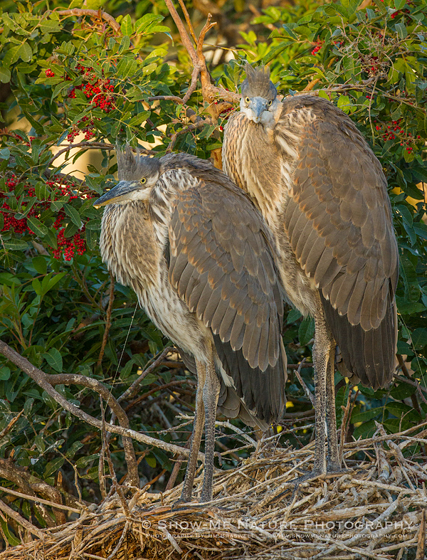 Juvenile Great Blue Heron chicks in nest