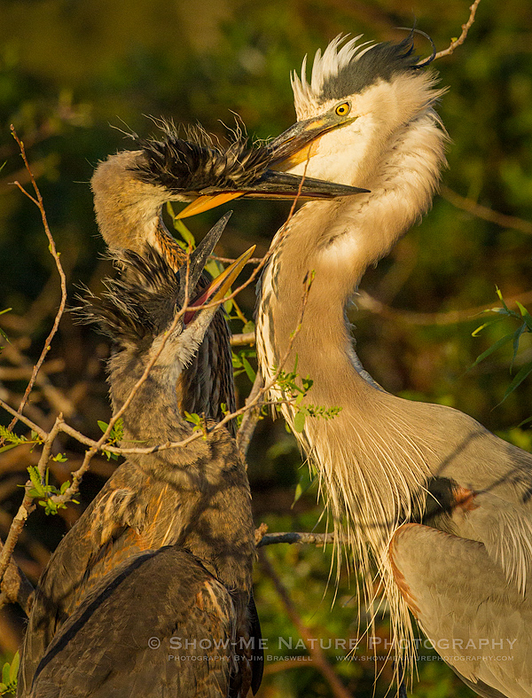 Great Blue Heron with two chicks in the nest