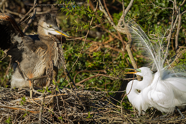 Great Blue Heron chick and Great Egret