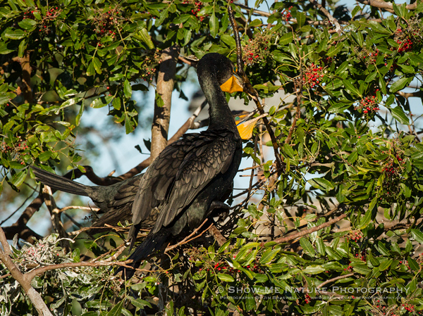 Double-crested Cormorant pair