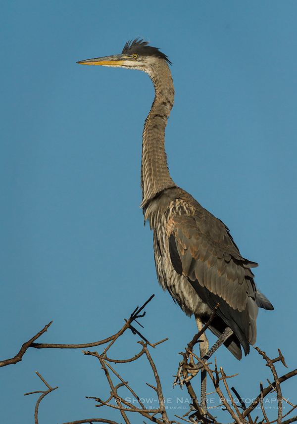 Great Blue Heron perched at top of rookery