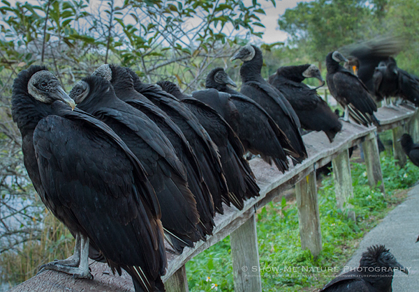 Black Vultures (and one Double-crested Cormorant)