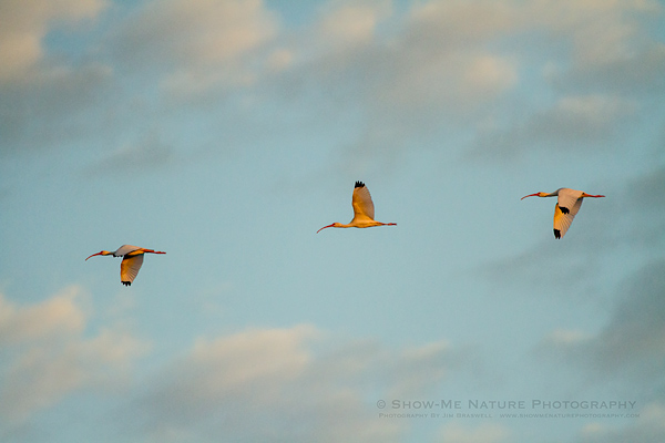 Small group of White Ibis flying over the Everglades NP