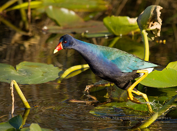Purple Gallinule running