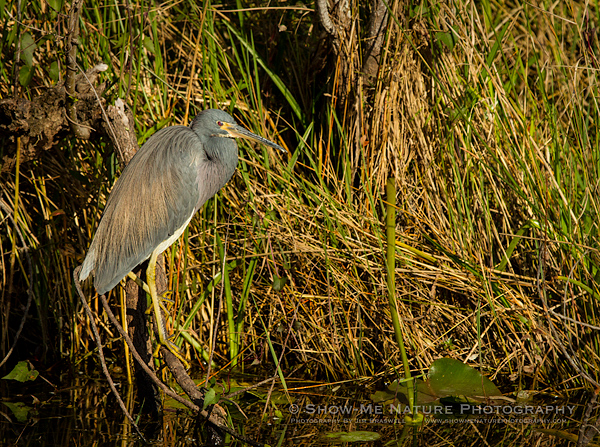 TriColored Heron foraging in the Everglades