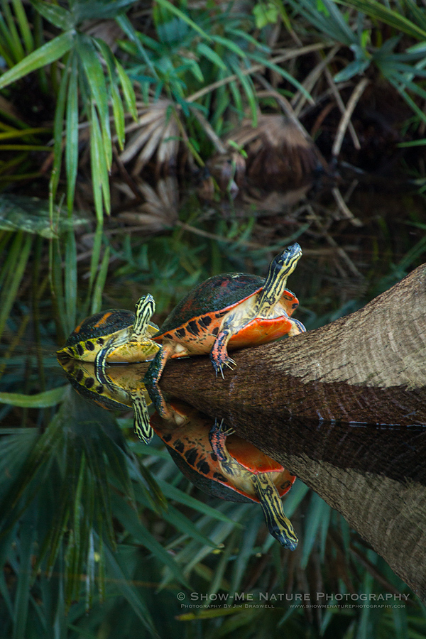 Florida Red-bellied Turtles