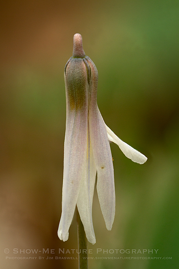 Dog-tooth Violet wildflower as it begins to bloom