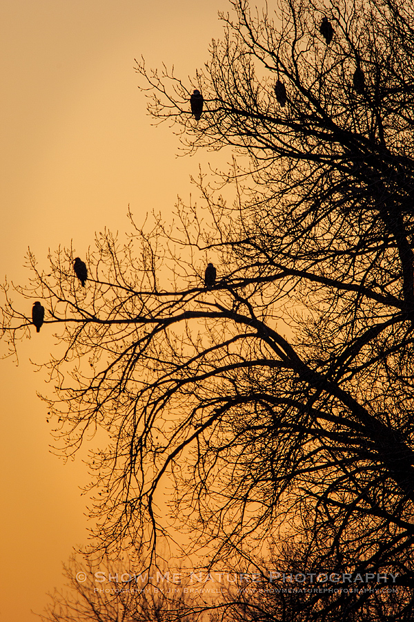Bald Eagles in tree overlooking the Mississippi River