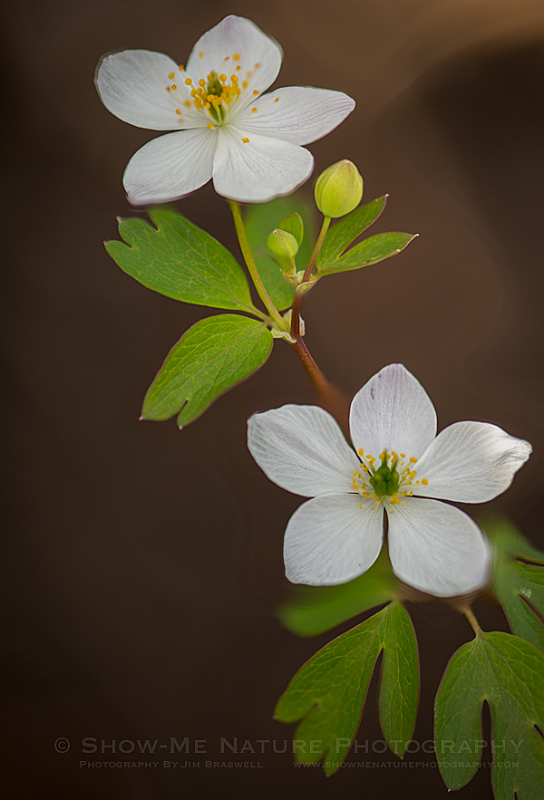 False Rue Anemone wildflower