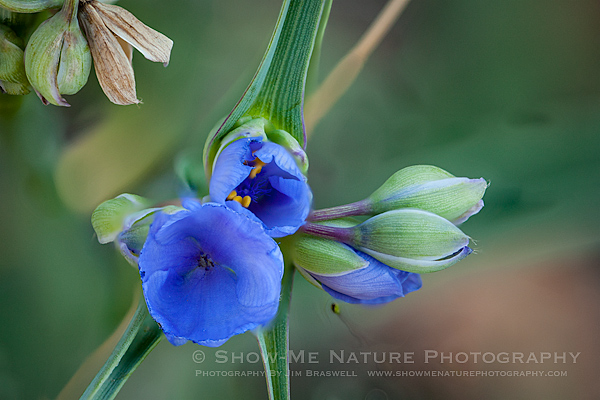 Spiderwort wildflower