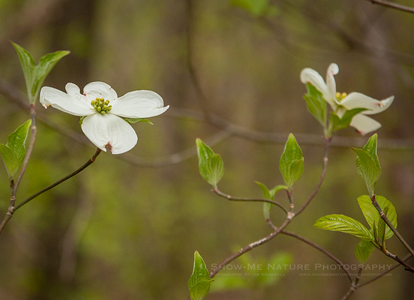 Dogwood trees in bloom