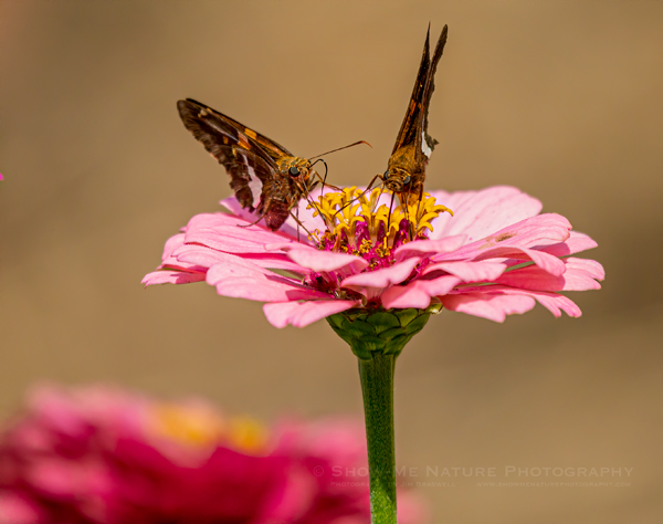 Silver-spotted Skippers sharing nectar