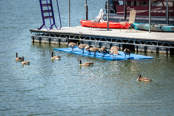 Canada Geese relaxing at the Lake