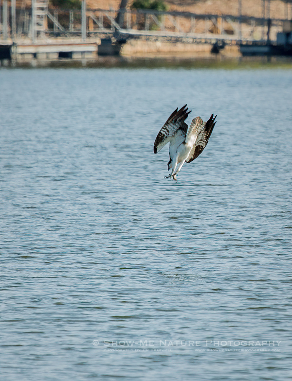 Osprey diving into the lake waters